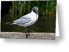 Black-headed Gull - Larus Ridibundus Greeting Card