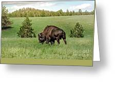 Black Hills Bull Bison Greeting Card
