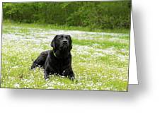 Black Lab Laying In A Field Greeting Card