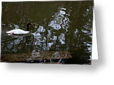 Black Neck Swan In Review Greeting Card