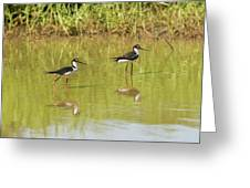 Black Necked Stilt, In The Pond In The Galapagos Greeting Card
