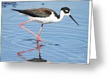 Black-necked Stilt Wading  Greeting Card