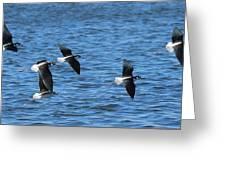 Black-necked Stilts In Flight - 2 Greeting Card