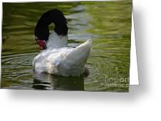 Black-necked Swan II Greeting Card