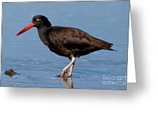 Black Oystercatcher Stroll Greeting Card