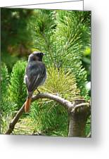 Black Redstart Greeting Card