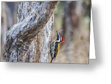 Black-rumped Flameback Aka Lesser Goldenback Greeting Card