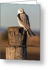 Black Shouldered Kite 4123 Greeting Card