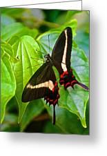 Black Swallowtail Butterfly In Iguazu Falls National Park-brazil  Greeting Card