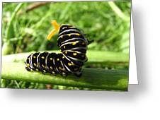 Black Swallowtail Caterpillar Greeting Card