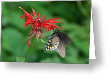 Black Swallowtail On Bee Balm Greeting Card
