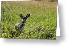 Black-tailed Deer In Tall Meadow Grass Greeting Card