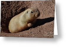 Black Tailed Prairie Dog Climbing Out Of A Hole Greeting Card