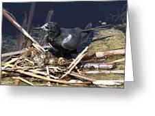 Black Tern On Nest Greeting Card