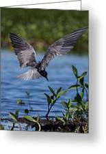 Black Tern Greeting Card