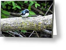 Black-throated Blue Warbler Greeting Card