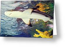 Black Tipped Reef Shark Greeting Card