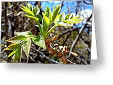Black Walnut Spring Greeting Card