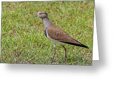 Black-winged Plover Greeting Card