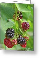 Blackberry Greeting Card