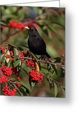 Blackbird Red Berries Greeting Card