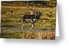 Blackbuck Greeting Card