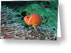 Blackfoot Anemonefish Hosted In A Magnificent Sea Anemone Greeting Card