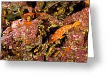 Blacktip Grouper Epinephelus Fasciatus Greeting Card