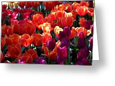Blankets Of Tulips Greeting Card