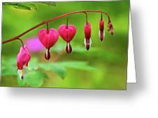 Bleeding Hearts - Lamprocapnos-spectabilis Greeting Card