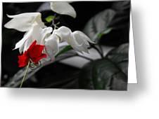 Bleeding Heartwine Flower Greeting Card
