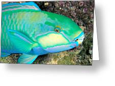 Bleekers Parrot Fish Greeting Card