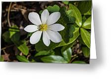 Blood Root Or Blood Wort Greeting Card