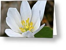 Bloodroot 3 Greeting Card