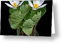 Bloodroot Duo Greeting Card