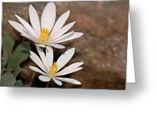 Bloodroot Flowers Greeting Card