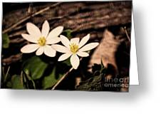 Bloodroot In Spring Greeting Card