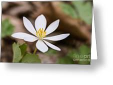 Bloodroot Wildflower Greeting Card