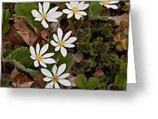 Bloodroot Wildflowers #1203 Greeting Card