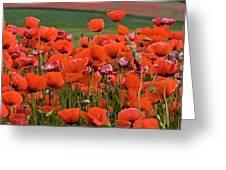 Bloom Red Poppy Field Greeting Card