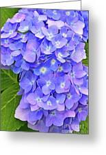 Blooming Blue Hydrangea Greeting Card