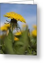 Blooming Dandelion Flower Greeting Card