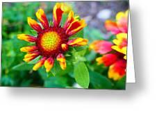 Blooming Gaillardia Greeting Card