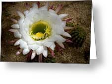 Blooming Hedgehog Cactus Greeting Card
