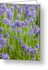 Blooming Lavendar Greeting Card
