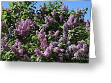 Blooming Lilacs Greeting Card
