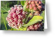 Blooming Milkweed Flowers Greeting Card