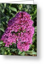 Blooming Pink Phlox Flowers In A Spring Garden Greeting Card
