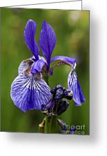 Blooming Purple Iris Greeting Card
