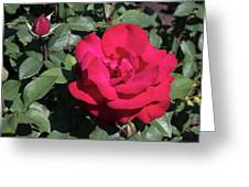 Blooming Rose With New Rose In Garden Greeting Card
